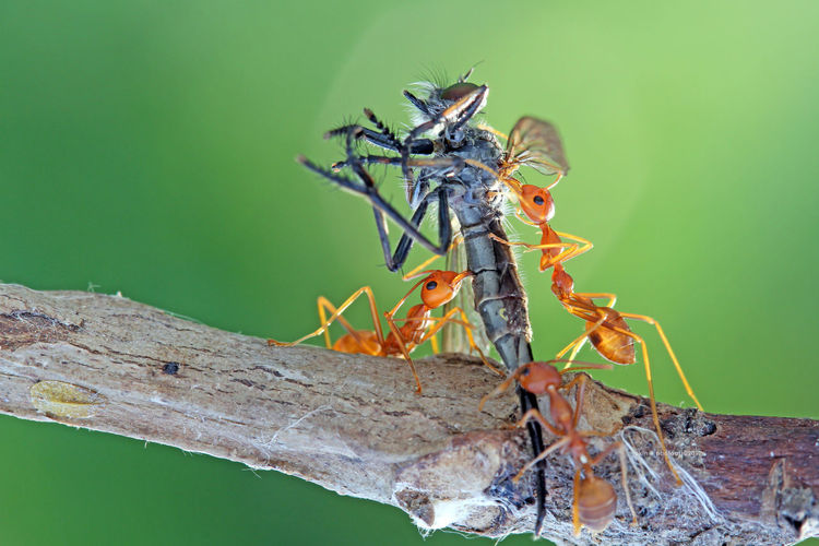 Close-up of ants hunting insect on branch