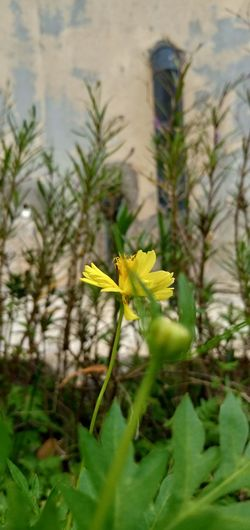 Flower Flowering Plant Yellow Flower PhonePhotography Phoneography Garden Flowers Stand Alone Beauty EyeEmNewHere