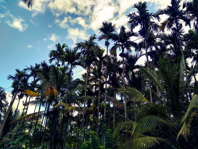 only coconut Coorgdiaries Coorg_trip EyeEm Nature Lover Eye4photography  EyeEm Gallery EyeEm Best Shots - Nature Coconut Palm Tree Tree Branch Forest Tree Area Sky Green Color Treetop Growing Plant Life Countryside Lush Foliage Blooming Botany