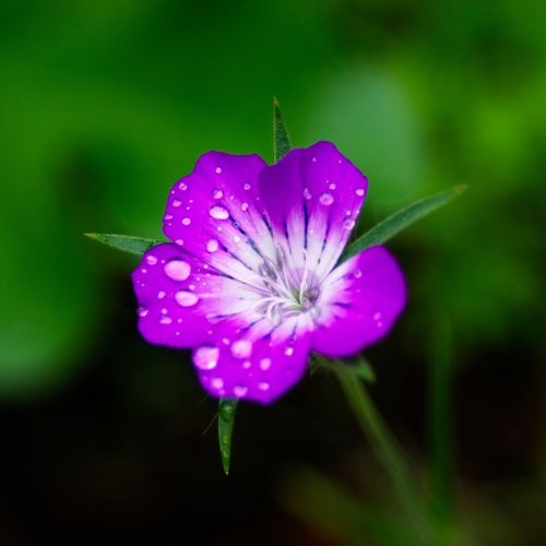 Storchschnabel Flower Flowering Plant Plant Freshness Vulnerability  Fragility Beauty In Nature Close-up Flower Head Focus On Foreground Purple Nature No People Drop Water Outdoors Pollen