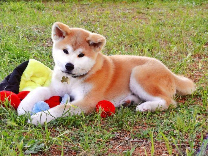 Full length of akita dog lying on grass