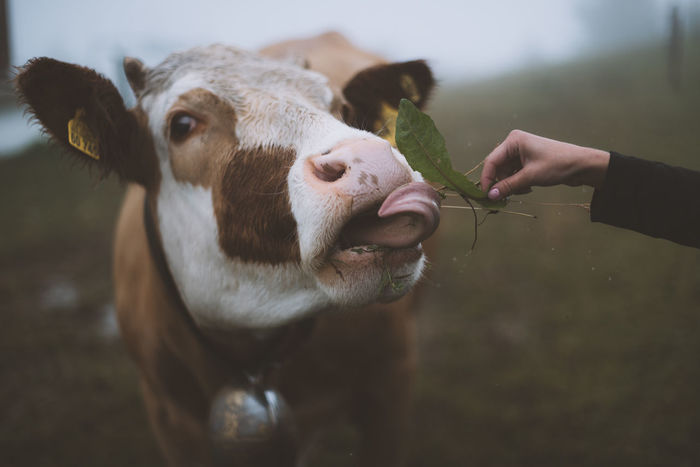 Lost In The Landscape Animal Themes Close-up Cow Day Domestic Animals Domesticated Animal Tag Eating Focus On Foreground Human Body Part Human Hand Livestock Mammal Nature One Animal One Person Outdoors People Real People Fresh On Market 2017