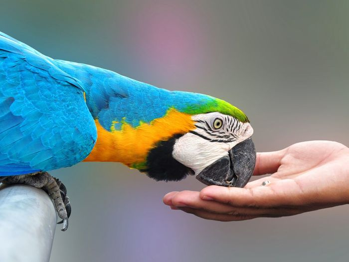Cropped hand feeding gold and blue macaw