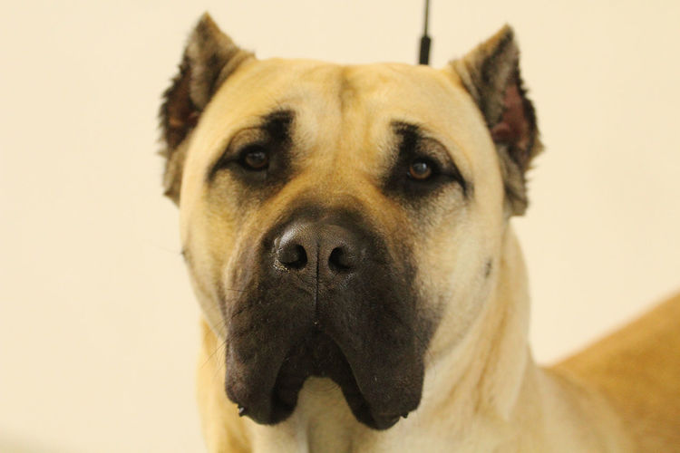 One Animal Domestic Mammal Pets Dog Canine Domestic Animals Portrait Looking At Camera Close-up Focus On Foreground Indoors  Animal Body Part No People Brown Snout Animal Nose Animal Mouth Canary Mastiff Perro De Presa Canario Big Dog Dog Show Show Dog Purebred Dog