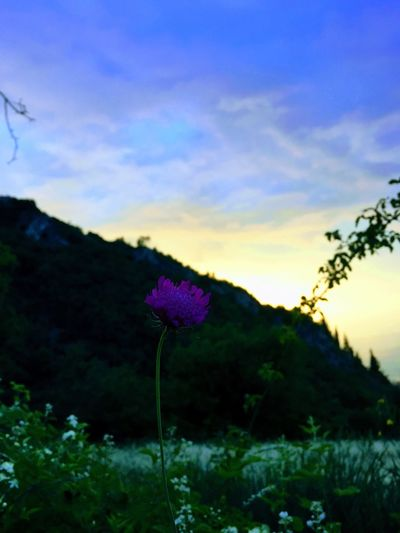 Purple Flower Plant Nature Flower Outdoors Sky Tranquility Sunset Flower Head Mountain