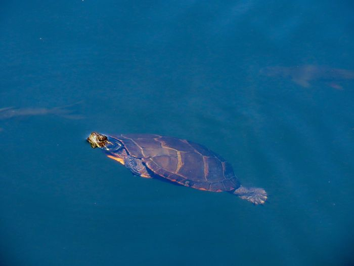 Turtle swimming in blue water at the preserve