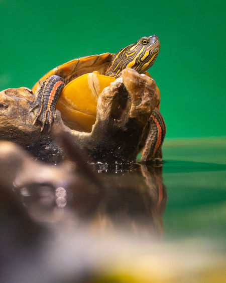 Turtle Animal Themes Animal One Animal Animal Wildlife Animals In The Wild Reptile Vertebrate No People Selective Focus Close-up Water Day Nature Amphibian Yellow Animal Body Part Outdoors Zoology Animal Head  Marine Mouth Open
