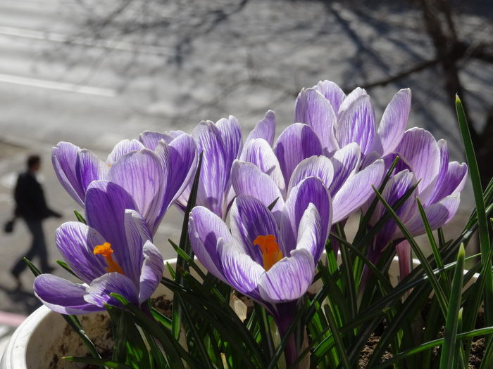 Crocus Flowers Flowering Plant Flower Plant Freshness Vulnerability  Fragility Beauty In Nature Petal Growth Purple Close-up Inflorescence Nature Flower Head No People Day Focus On Foreground Crocus Field Outdoors Nature Beauty In Nature Plant Growth Freshness Flowering Plant