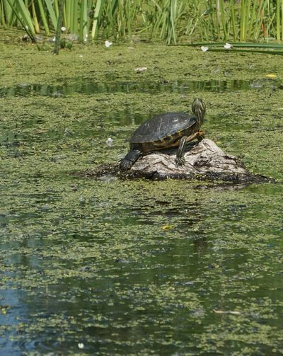 One Animal Water Reptile Animals In The Wild Animal Wildlife Animal Themes Outdoors No People Painted Turtle Showcase July Nature Lover EyeEm Best Shots