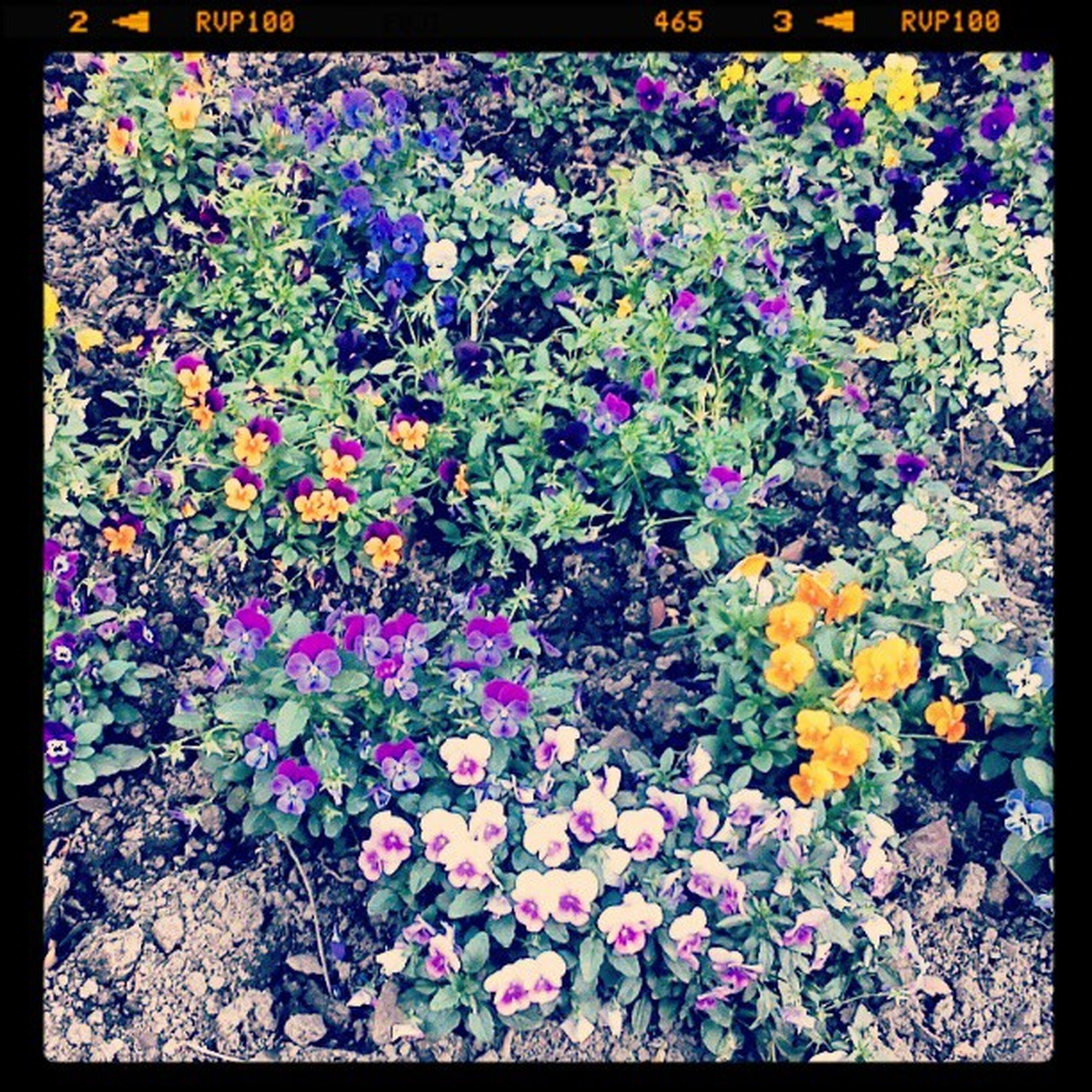 flower, transfer print, growth, freshness, auto post production filter, fragility, beauty in nature, plant, nature, petal, abundance, field, blooming, high angle view, purple, leaf, multi colored, in bloom, flower head, blossom