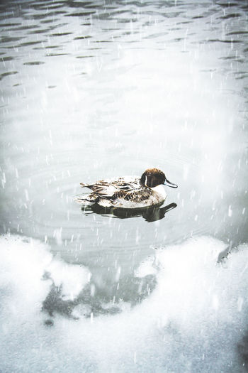 Quack Animal Themes Animal Wildlife Animals In The Wild Beauty In Nature Beauty In Nature Bird Cold Temperature Cute Day Duck Frozen Ice Lake Lake View Love Nature No People One Animal Outdoors Snow Snow ❄ Swimming Water Water Bird Winter