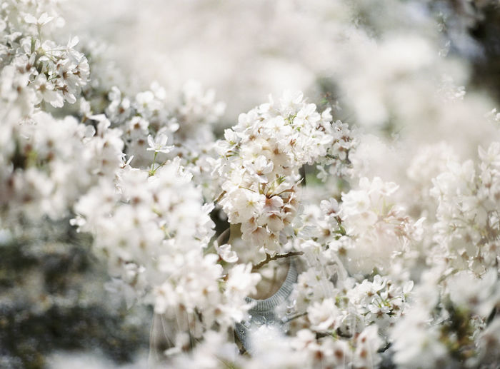 120 Film Beauty In Nature Blooming Blossom Botany Branch Close-up Flower Flower Head Focus On Foreground Fragility Freshness Growth In Bloom Nature Petal Plant Selective Focus Springtime Tree White Color