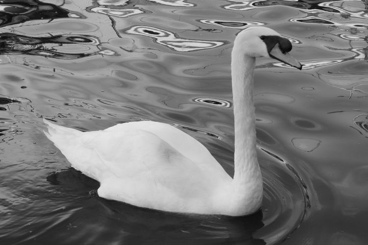 Swan swimming leisurely on the river. Beauty In Nature Birds Blackandwhite Close-up Feather  Ireland🍀 Nature Poser ❤ Swans ❤ Tranquility Water