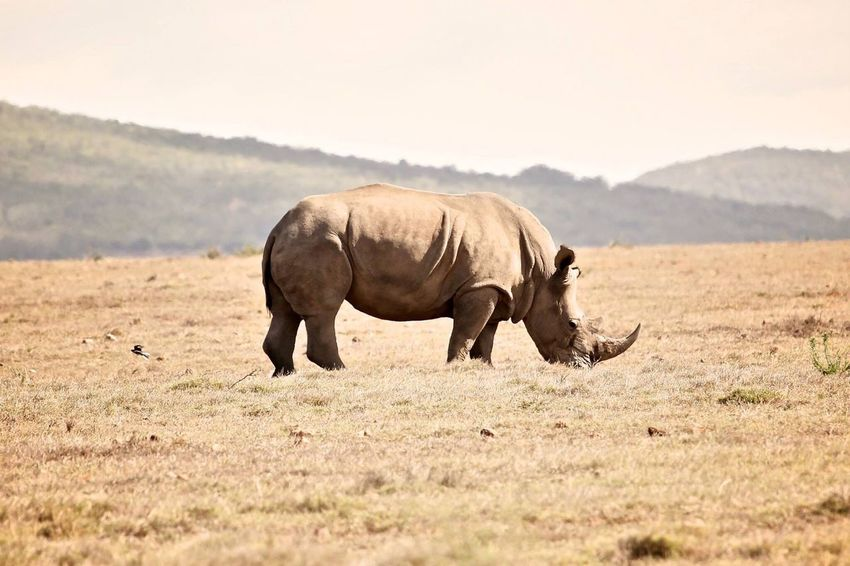 Rhino Rhinoceros South Africa Wildlife & Nature Wildlife Wildlife Photography Game Drive