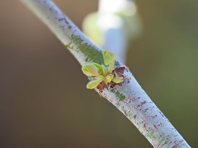 Eucalyptus Young Leaves Spring Buds Insect Close-up No People Focus On Foreground Nature Outdoors Green Color Day Beauty In Nature