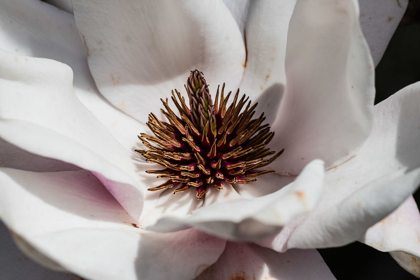 Magnolia campbellii is a medium-sized to large deciduous tree growing to 30 m, rarely to 45 m, tall, with smooth grey bark. The leaves are 10–23 cm (rarely to 33 cm) long and 4.5–10 cm (rarely to 14 cm) broad, fuzzy underneath and with an acute apex. The flowers are very large, 15–25 cm (rarely 35 cm) diameter, with 12-16 tepals, which vary from white to dark pink. They appear very early, before the leaves, opening from late winter to early spring. https://en.wikipedia.org/wiki/Magnolia_campbellii Magnolia Beauty In Nature Close-up Flower Flower Head Macro Petal White Color