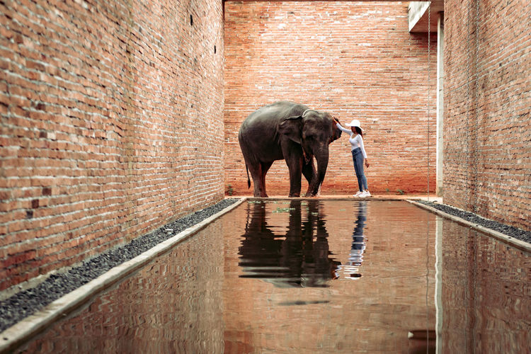 Full length of elephant standing against wall
