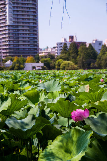 Botany Buildings Flower Fragility Freshness Growth Nature Ueno Park Water Lily Water Lily, Flower