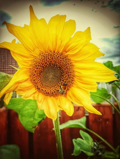 Focus On Foreground Flower Yellow Beauty In Nature Close-up Sunflower