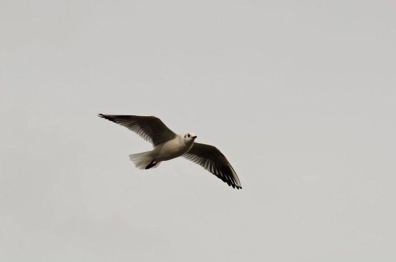 Seagull Möwe
