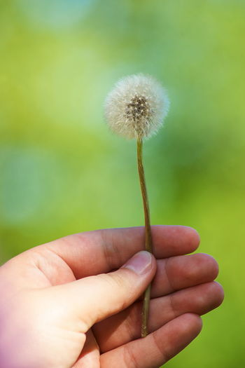 Beautiful sunny day with dandelion in the hands Body Part Close-up Dandelion Dandelion Seed Day Finger Flower Flowering Plant Focus On Foreground Fragility Freshness Hand Holding Human Body Part Human Finger Human Hand Human Limb Nature One Person Outdoors Plant Real People Softness Vulnerability