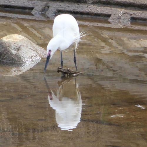 水面に写る姿を見て、キミは何思う❔ EyeEm Best Shots EyeEm Nature Lover シロサギ リフレクション