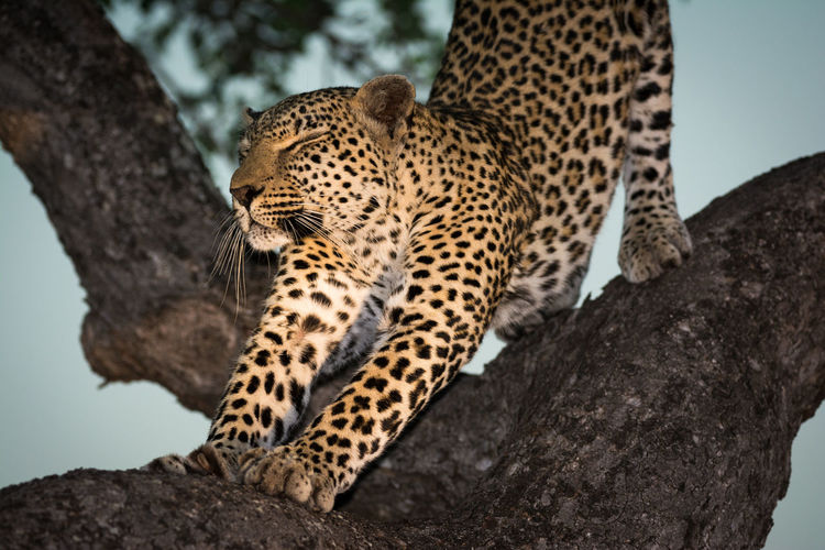 Close-up of leopard in tree