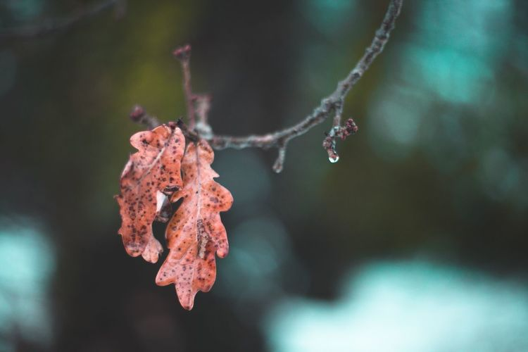 Close-Up Of Red Frozen Leaves During Winter