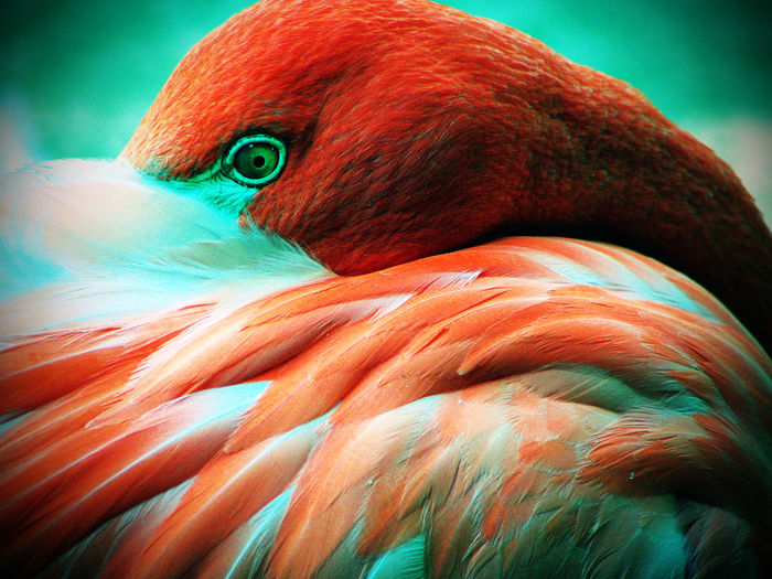 Animal Themes Animal Wildlife Animals In The Wild Beak Beauty In Nature Bird Close-up Day Eye Feather  Flamingo Flamingo Macaw Nature No People One Animal Outdoors Parrot Red
