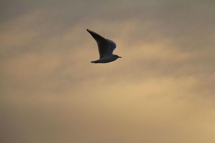 Bird flying against sky at sunset
