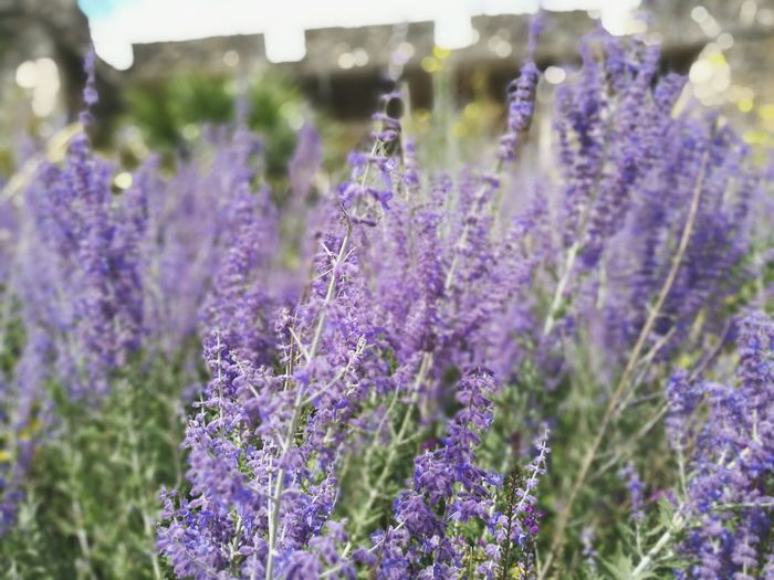 Lavender at the Old City Walls First Eyeem Photo
