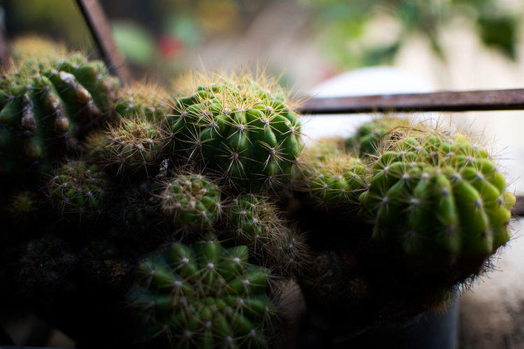 Close-up Focus On Foreground Plant No People Green Color Growth Succulent Plant Day Cactus Nature Thorn Outdoors Beauty In Nature Sharp Animal Spiked Natural Pattern Animal Themes One Animal Selective Focus
