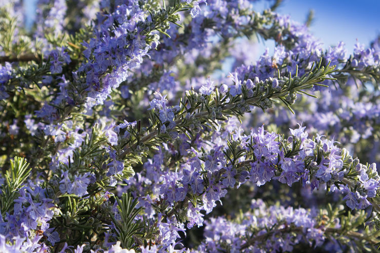 Flower Plant Flowering Plant Beauty In Nature Freshness Purple Fragility Vulnerability  Growth Close-up Selective Focus Nature No People Springtime Blossom Botany Flower Head Day Lavender Inflorescence Outdoors Softness