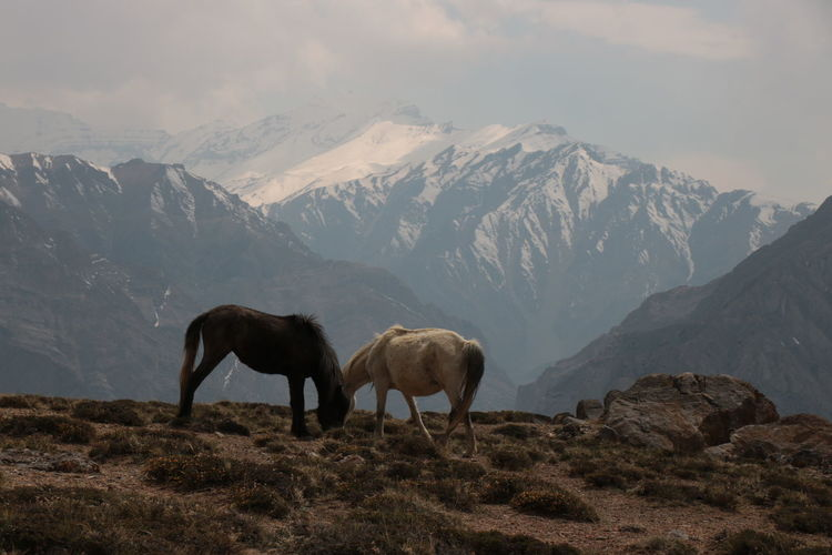 Horses grazing against snowcapped mountains