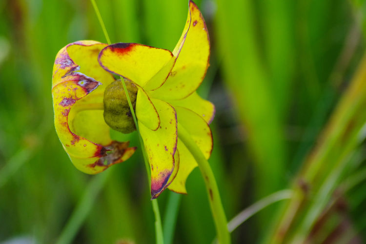 Pitcher Plant Pitcher Plant Flower Nature Nature Photography Photography Carolina Beach, NC Carolina Beach State Park Flower Green Bokeh Flytrap