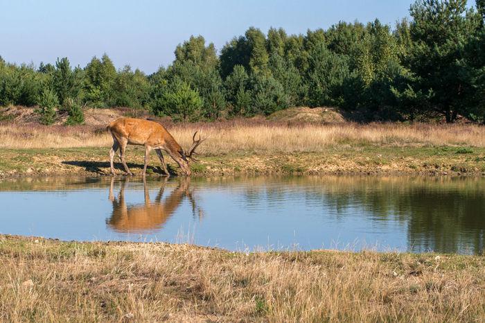 Red deer, Cervus elaphus Nature Animal Animal Themes Landscape Male Mammal Outdoors Red Deer Summer Water