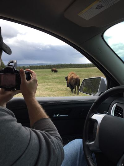Man Photographing Bison In Field From His Car