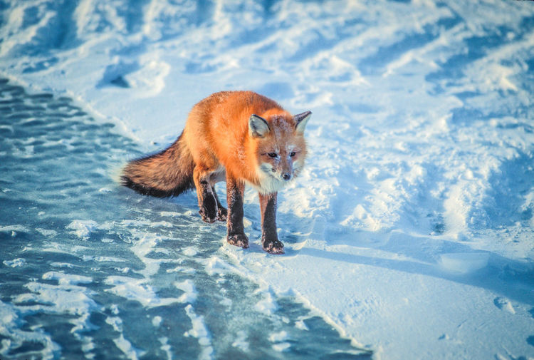 High Angle View Of Fox Standing On Snow Field