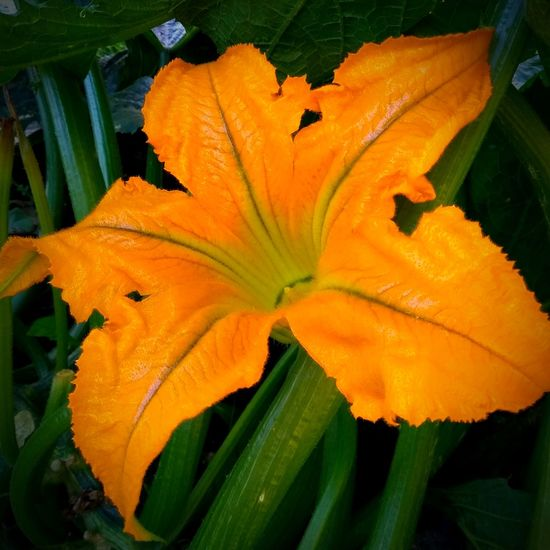 Courgette flower. Flower Freshness Growth Nature Beauty In Nature Petal Fragility Leaf Plant Green Color Flower Head Day Outdoors No People Close-up Blooming Courgette COURGETTE FLOWERS Courgette Flower Food Stories
