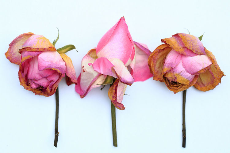 Close up picture of three beautiful wilted pink roses. Beautiful Nature Beauty In Nature Close-up Day Detail EyeEm EyeEm Gallery EyeEm Nature Lover Flower Flower Head Fragility Frame Freshness Millennial Pink Nature No People Outdoors Petal Pink Color Pink Rose Plant Still Life Studio Shot White Background Wilted Plant