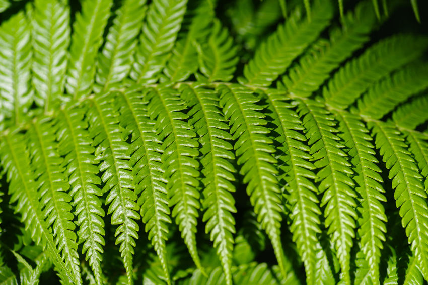 Green Color Growth Plant Close-up Pattern No People Leaf Plant Part Nature Backgrounds Focus On Foreground Fern Day Beauty In Nature Full Frame Selective Focus Freshness Repetition Outdoors Detail