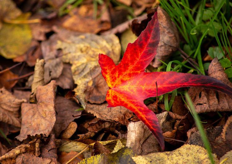 red leaf Red