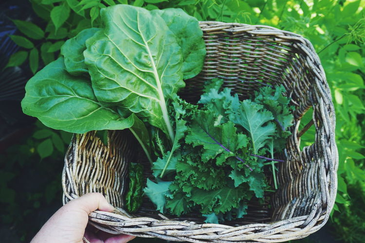 picking mangold and kale for the soup of the day Kale Mangold Vegetable Vegetables Green Leaf Vegetable Tree Leaf Basket Vegetable Close-up Plant Green Color Vegetable Garden Horticulture Kale Cultivated Plantation Homegrown Produce Leaf Vegetable Gardening Beet Greenhouse