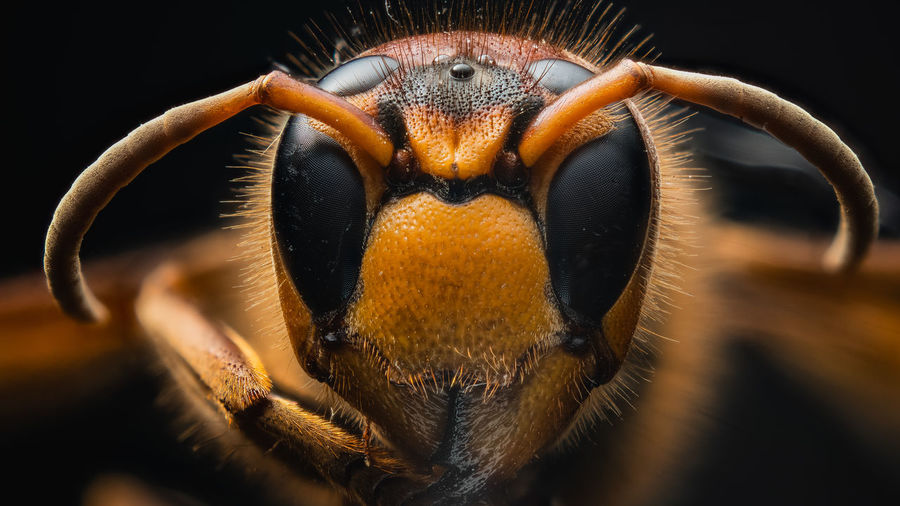 Close-up portrait of an insect over black background