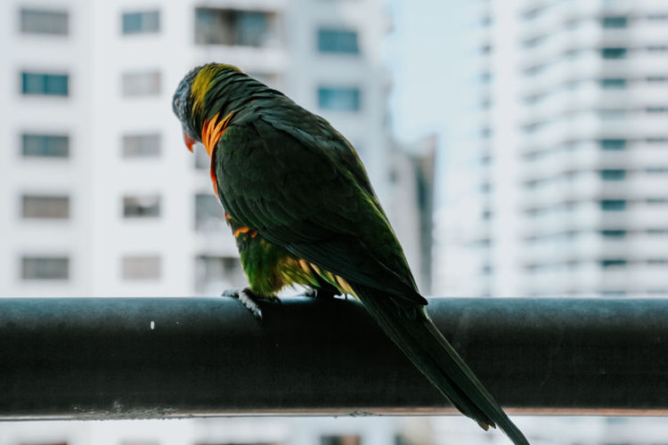Close-up of parrot perching on a building