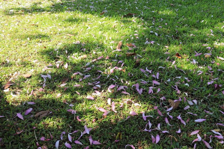 อุทยานหลวงราชพฤกษ์ Plant Growth Field Land Grass Beauty In Nature Nature Green Color Flower Flowering Plant No People Tranquility Day High Angle View Full Frame Freshness Outdoors Sunlight Fragility Vulnerability  Purple ราชพฤกษ์