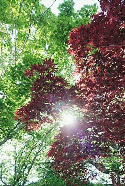 EyeEm Gallery EyeEm Nature Lover Japan Early Summer 初夏 神社 Green Bordeaux Dark Red  Reaf Reaves Ultimate JapanGreen Leaves Dark Red Leaves Healing Komorebi 神社にて