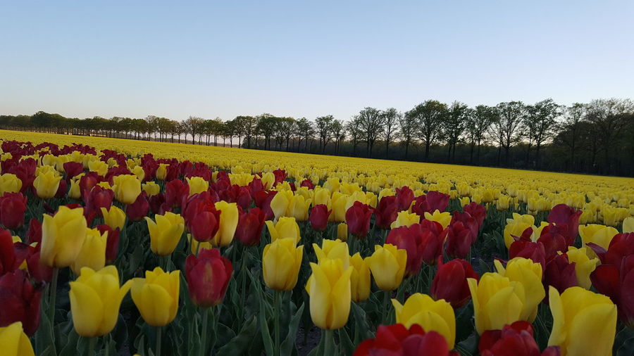 Multi colored tulips in field against clear sky