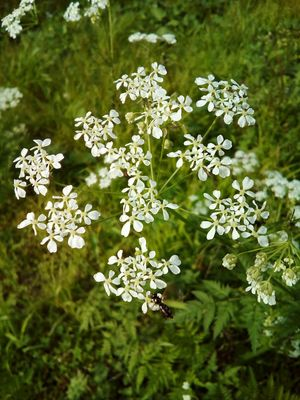 Flower Nature Plant Outdoors Day Beauty In Nature Close-up Freshness Flower Head Fragility Anthriscus Insect Summer White Color Blooming Flower Umbelliferae Apiaceae