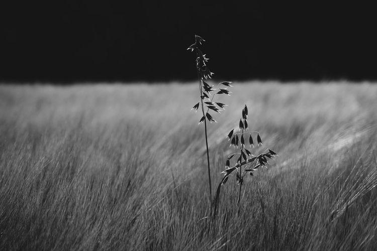 Oats growing amidst barley growing on field